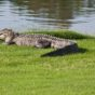 """Alligator on the fairway of the par-5 13th hole Dunes Golf & Beach Club - Image credit Andrew Marshall"""