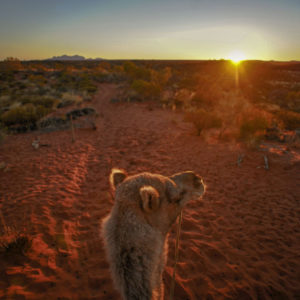 Travelling through a sunset in the red centre of Australia on the Uluru Camel Tours - Image credit David Hill.