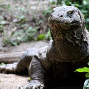 Coming face-to-face with a Komodo Dragon