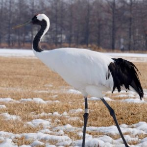 red-crowned crane - Image Suzanne Morphet